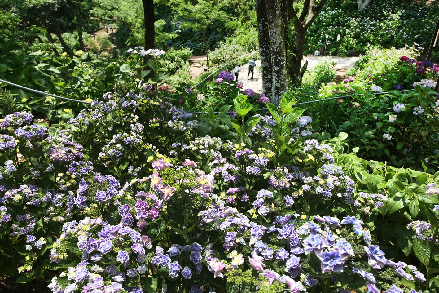 八重咲きのガクアジサイ「きらきら星」