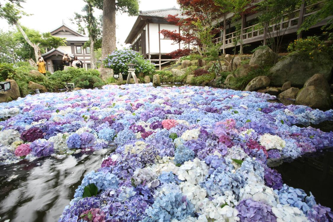 弁天池に広がるアジサイの花