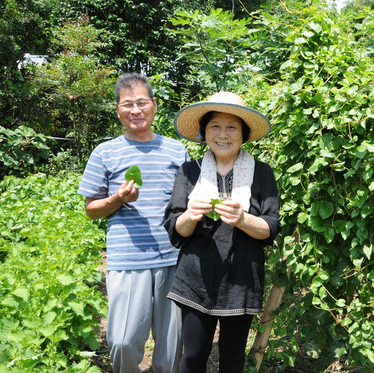 オカワカメを収穫する柳下さん夫婦