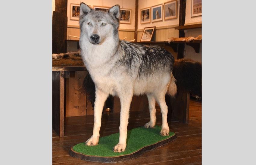 オオカミのはく製