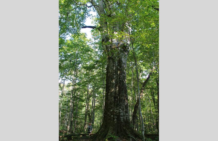 ブナ巨木「森の神」
