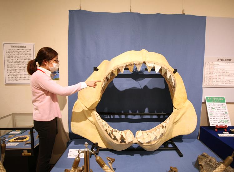 サメの歯を指す同館職員