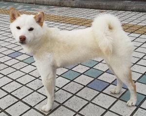 白い柴犬ユキ 水戸市赤塚から不明に 1月中旬に常陸大宮市で目撃情報