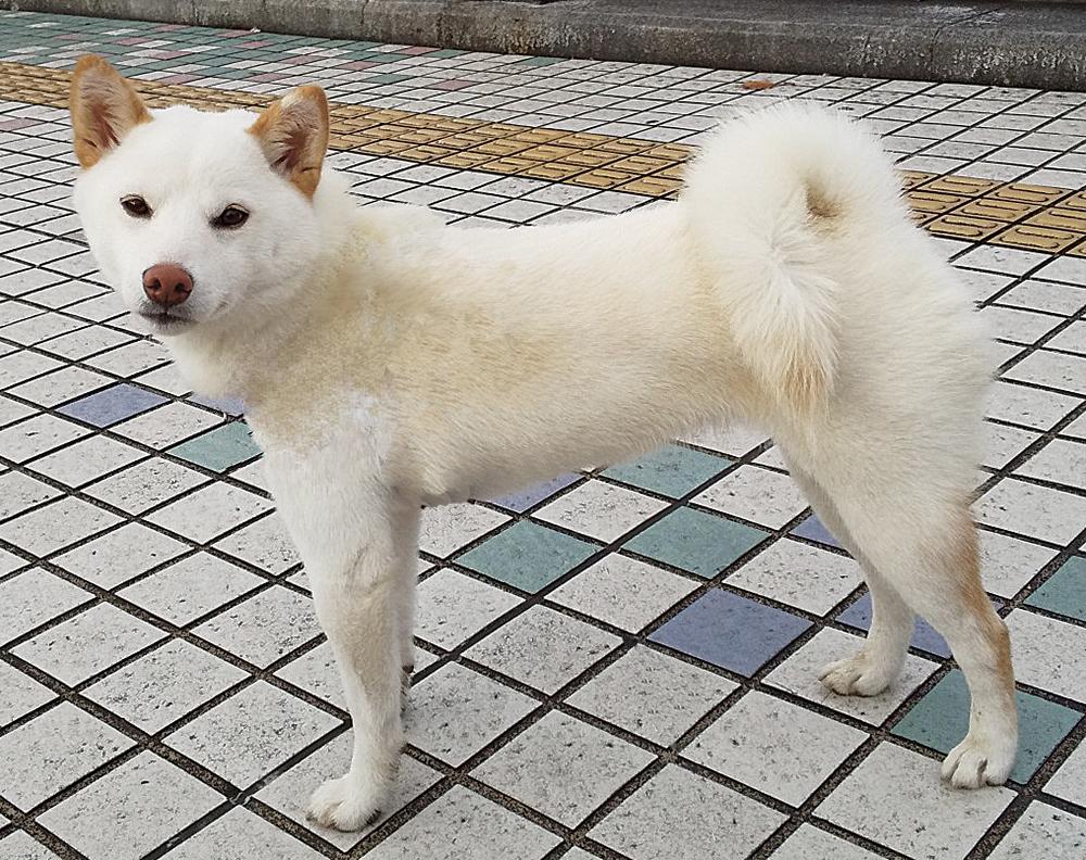 柴犬ユキの写真