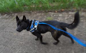 甲斐犬雑種のはむ 2020年11月につくば市研究学園から不明に