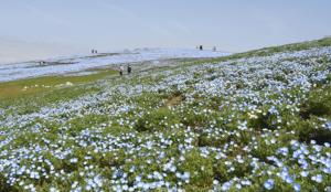 日々、青が足される絶景の丘  国営ひたち海浜公園
