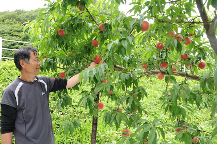 桃を収穫する菊池さん